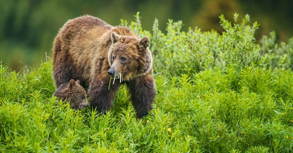 Grizzly Bear, Canadian Rockies